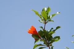 Pomegranate flower. Blue sky background Royalty Free Stock Photo