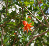 Pomegranate flower. Blue sky background Stock Image