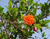 Pomegranate flower Royalty Free Stock Photo