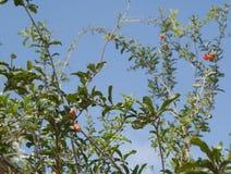 Pomegranate flower Stock Photos
