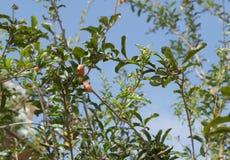 Pomegranate flower Stock Images