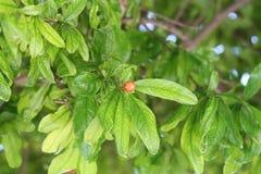 Pomegranate flower bud among leaves stock image