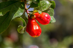 Pomegranate flower buds. Flora of Israel Royalty Free Stock Images