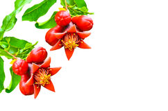 Pomegranate flower and buds Royalty Free Stock Images