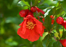 Pomegranate flower with fruit forming around it Royalty Free Stock Photos