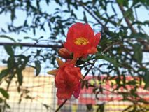 Pomegranate Flower Stock Image