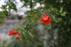 Pomegranate Flower royalty free stock images