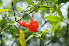 Pomegranate flower Stock Photography