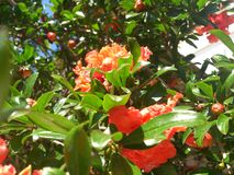 Pomegranate flower. punica granatum. Summer fruits. tree flowers. organic and natural products Stock Images