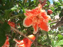 Pomegranate flower. punica granatum. Summer fruits. tree flowers. organic and natural products Royalty Free Stock Images