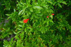 Pomegranate flower after rain. Flowers and flower buds of pomegranate after the rain in spring, Montenegro Royalty Free Stock Photography