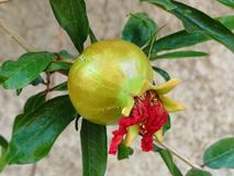 Pomegranate with flower still attached Stock Image