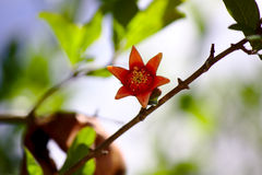 Pomegranate flower. Pomegranate tree is now opening its beautiful red flowers royalty free stock images