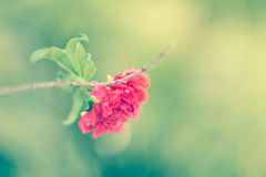 Pomegranate flower on twig Royalty Free Stock Photo