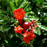 Pomegranate flower. Young pomegranate flower in green leaves in May Stock Photo