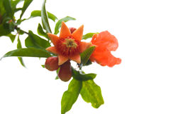 Pomegranate flowers Stock Photography