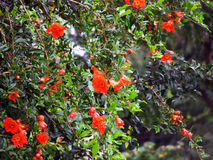 Pomegranate flowers Royalty Free Stock Images