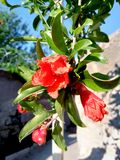 Pomegranate flowers and green leaves in nature royalty free stock photos