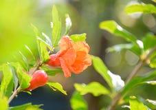 Pomegranate flowers Stock Image