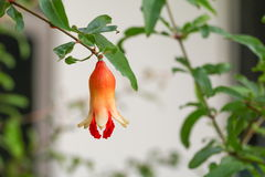 Pomegranate flowers on tree  Punica granatum  L. Pomegranate flowers on tree Punica granatum L Royalty Free Stock Photography