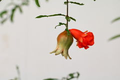 Pomegranate flowers on tree  Punica granatum  L. Stock Photography