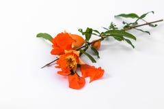 Pomegranate flowers on white  background Stock Image