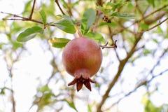 Pomegranate. Fresh red pomegranate on tree Royalty Free Stock Photos