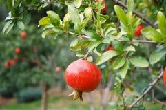 Pomegranate fruit Stock Photography