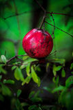 Pomegranate fruit. Young pomegranate on a tree branch (punica granatum Royalty Free Stock Image