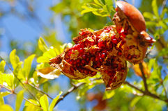 Pomegranate fruit Royalty Free Stock Photos