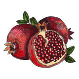 Pomegranate fruit, berry. Organic nutrition healthy food. Engraved hand drawn vintage retro vector Pomegranate engraving Stock Images