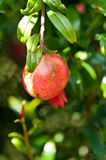 Pomegranate fruit and blossom on a sunny day Royalty Free Stock Photo