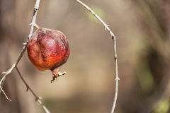 Pomegranate fruit on branch. Royalty Free Stock Photos