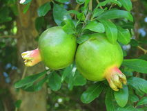 A pomegranate fruit. A closeup of two pomegranate fruits hanging from a tree Stock Images