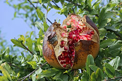 Autumnal fruit viewing,autumnal fruit picture,Pomegranate,fruit,food,organic,italy. Pomegranate fruit cross-section and still on the branch Royalty Free Stock Photo