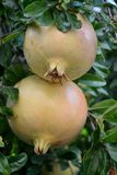 Pomegranate fruit. And green leaves Royalty Free Stock Photography