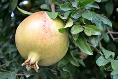 Pomegranate fruit. And green leaves Stock Images