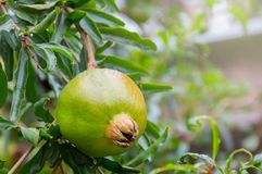 Pomegranate fruit. Green raw Pomegranate fruit hanging on the trees in the garden, with a natural background Royalty Free Stock Images