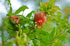 Pomegranate fruit growing on a tree Royalty Free Stock Photography