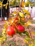 Pomegranate fruit growing on a tree. The pomegranate fruit growing on a tree in vegetable garden royalty free stock photo