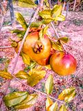 Pomegranate fruit growing on a tree. The pomegranate fruit growing on a tree in vegetable garden. Portugal Israel stock photo