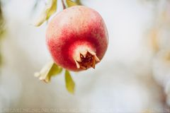 Pomegranate fruit hanging on a tree royalty free stock photos