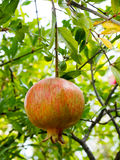 Pomegranate Fruit Hanging from Tree Royalty Free Stock Photo