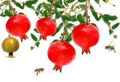 Pomegranate. Fruit and honey bees on a white background Stock Photos