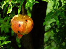 Pomegranate fruit still on foot Royalty Free Stock Photography