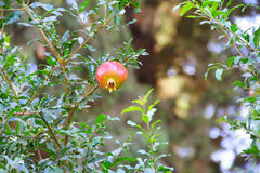 Pomegranate fruit on the tree Stock Images