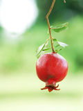 Pomegranate Fruit. On Tree Branch Royalty Free Stock Images