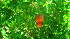 Pomegranate fruit on the tree branch a lot of leaves about. Backlit by day sun stock video