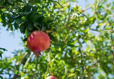 Pomegranate fruit on a tree branch sunny day royalty free stock photography