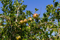 Pomegranate fruit tree with fruits. Stock Photography